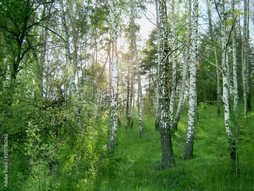 Birch Grove. Through the trunks of the trees break through the rays of the bright sun.