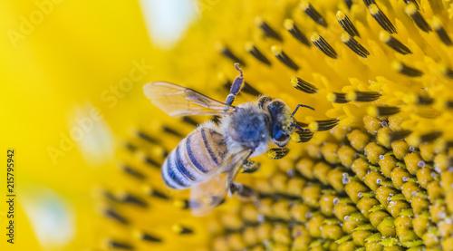 In de dag Bee bee collecting pollen on sunflower