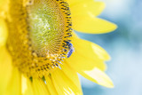 bee collecting pollen on sunflower