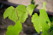 Green leaves of black currant on a blurred background, Black currant/ - 215797193