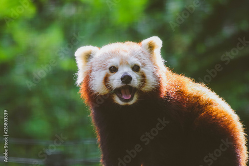 Canvas Panda Red Panda