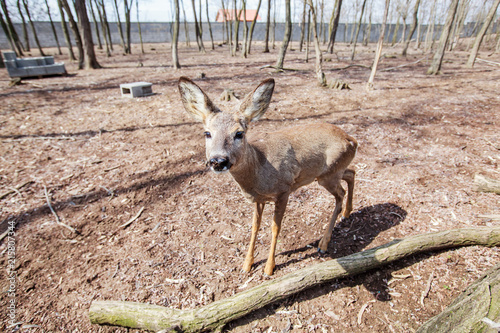Canvas Hert Young deer in forest