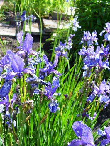 Canvas Iris ирисы