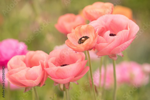 Photograph of coral colored Ranunculus growing in a field