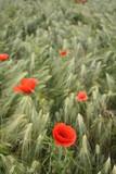 Rote Mohnblüten im Kornfeld
