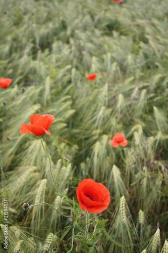 Rote Mohnblüten im Kornfeld - 215848311