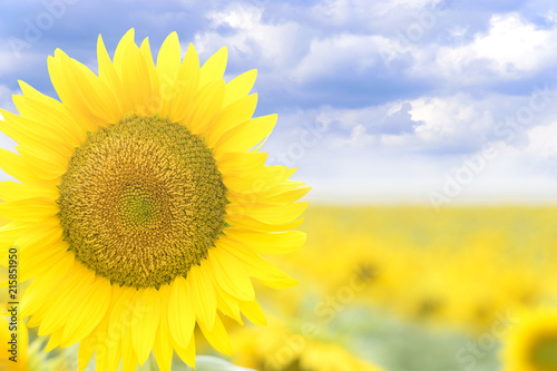 Plexiglas Geel Bright blooming sunflower against a blue sky with clouds close-up.