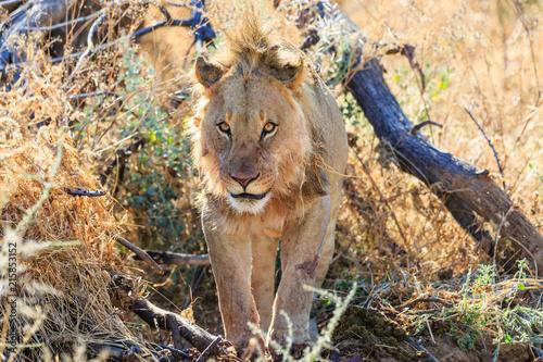 Foto Spatwand Lion Löwe