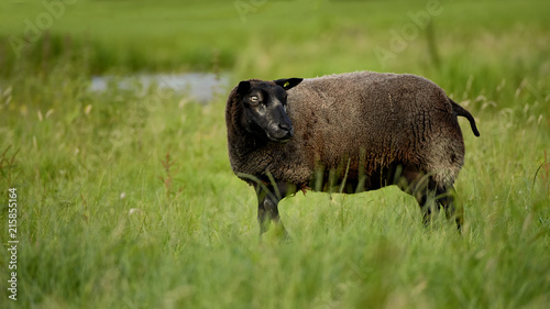 Canvas Bison Sheep (Ovis - a type of mammalian beef) grazing