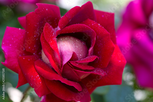 Red rose closeup with watwr drop.