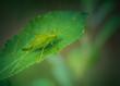 insecte seul sauterelle verte posé sur une feuille en été sur fonds sombre