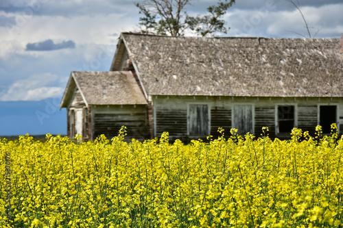 Foto Spatwand Honing Abandoned Farmhouse in a Canola Field