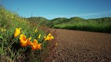 California Poppies growing alongside a fire road in the Marin Headlands.  Slight breeze moving the flowers.  Fields of grass moving in the background.  Low angle.  Blue sky. Springtime. - 215872342