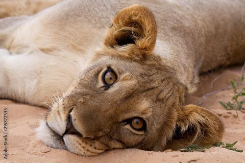 Foto Spatwand Lion Lion cub