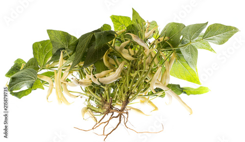 Foto Murales fresh bean plant close up on white background