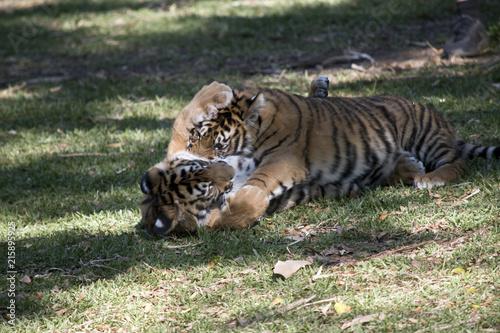 Fototapeta tiger cubs