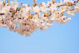 桜 空 素材 - 215909768