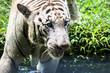 Close up of big feline wildcat Malayan tiger with beautiful stripe fur