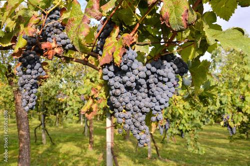 Foto Spatwand Wijngaard Vineyard Ready to Produce Wine