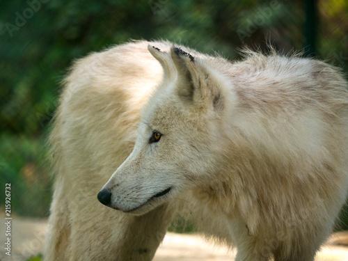 Fototapeta Loup arctique