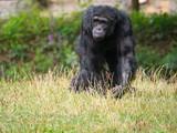 Chimpanzé à dos argenté