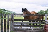 horse in summer on a meadow behind a wooden fence