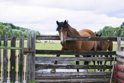 Canvas Paarden horse in summer on a meadow behind a wooden fence
