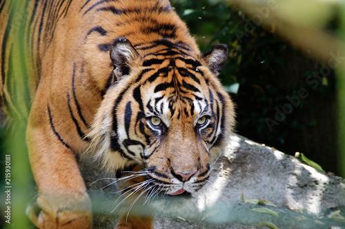 Fototapeta Safari