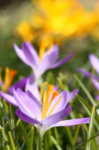 Frühblüher im Sonnenschein im Frühling