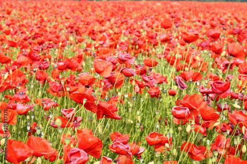 In de dag Tulpen Leuchtender Mohn im grünen Feld