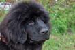 Cute newfoundland puppy close up. Pet animals.