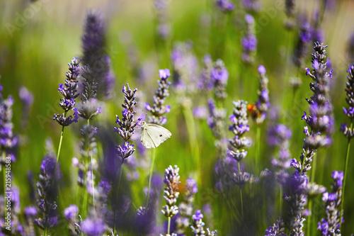 Schmetterling auf Lavendelblüte - 215948583