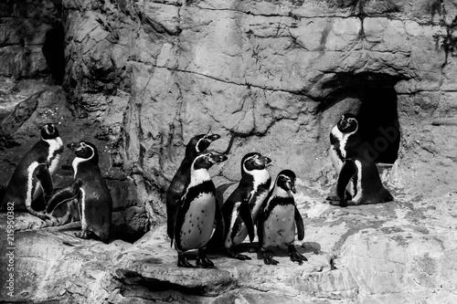 Foto Spatwand Pinguin penguins having a meeting