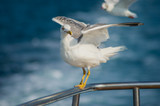 Seagull posing on the safety bar of a boat with spread wings