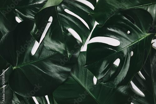 full frame shot of green monstera leaves isolated on white