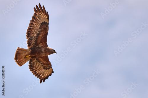 Canvas Eagle Adler im Flug