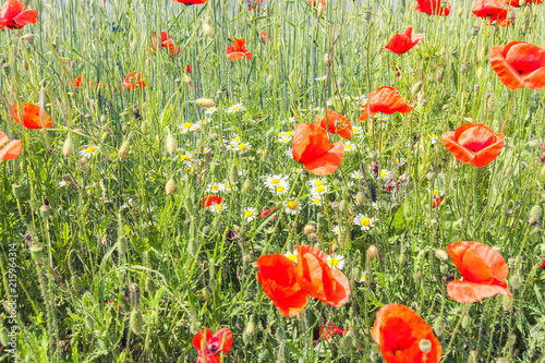 field of red poppies  - 215964314