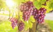 Quadro Weintrauben im Sonnenlicht