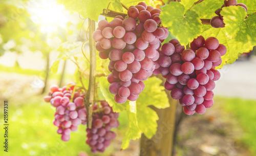 Weintrauben im Sonnenlicht - 215973311