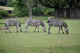 Trio of the zebras. - 215977929