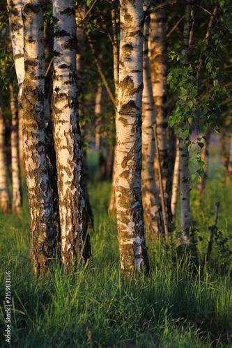 Birch trees in the dawn. Rural landscape in Poland - 215983136