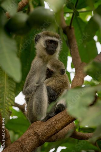 Vervet monkey mother holding baby in tree