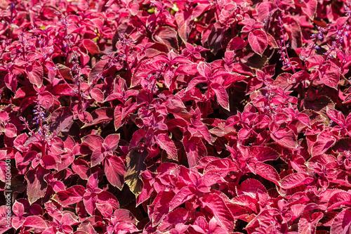 Leinwandbild Motiv Red and green leaves of the coleus plant, Plectranthus scutellarioides.