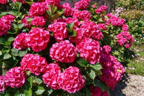 Foto Spatwand Hydrangea Fleurs d'hortensias roses