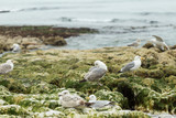 Seagulls sitting on the rocks. Herring gulls having rest on the beach at low tide in Normandy, France. Seabirds, wildlife and nature concept