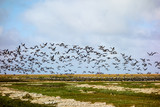 Zugvögel vor dem Westerhever Leuchtturm