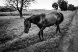 beautiful horse walking and grazing in a field near a road, summer in country side, black and white