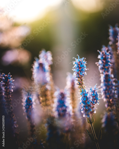 Lavendel - 216038950