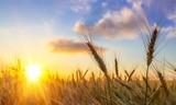 Sun Shining over Golden Barley / Wheat - 216048148