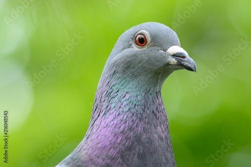 Foto Murales Head shot of a pigeon